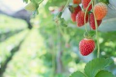 Süßer Erdbeerfruchtabschluß, oben bei der Kindertagesstättenlandwirtschaft Stockbilder
