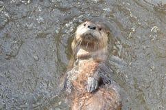 Süßer gegenübergestellter Fluss-Otter, der zurück auf seinen schwimmt Stockfotografie
