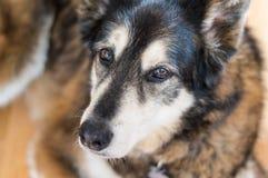 Süßer heiserer Hund, der die Kamera betrachtet Stockfoto