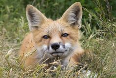 Süßer Junge Fox, der im Gras spielt Lizenzfreie Stockfotos