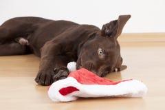 Süßer kleiner brauner Labrador-Hund mit einem Kostüm Stockfotos