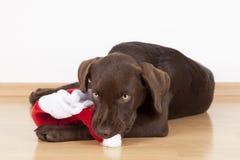 Süßer kleiner brauner Labrador-Hund mit einem Kostüm Stockbild