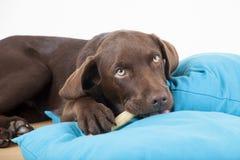 Süßer Labrador Hund Browns, der auf Kissen liegt und einen Knochen isst Stockfoto