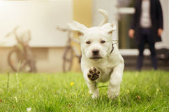 Süßer Labrador-Welpe in der Wiese in der Bewegung, die Hundetatzen zeigt Lizenzfreie Stockfotos