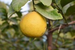 Süßer Limettenbaum Lizenzfreie Stockfotos
