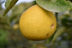 Süßer Limettenbaum Stockfotografie