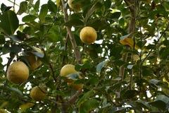 Süßer Limettenbaum im Garten Stockfotos