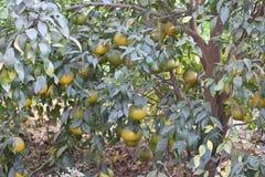 Süßer Limettenbaum im Garten Lizenzfreie Stockfotos