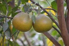Süßer Limettenbaum im Garten Stockbild