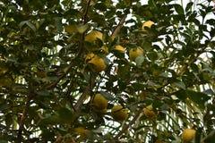 Süßer Limettenbaum im Garten Lizenzfreies Stockfoto