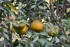 Süßer Limettenbaum im Garten Lizenzfreie Stockfotografie