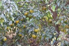 Süßer Limettenbaum im Garten Lizenzfreies Stockbild