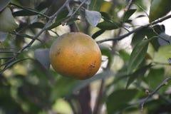 Süßer Limettenbaum im Garten Stockfoto