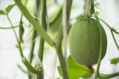 Süßer Melone Japaner Kimochi im Gewächshaus Stockfotografie