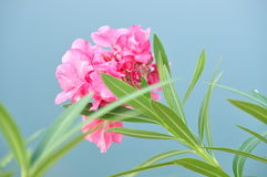 Süßer Oleander stockfotos