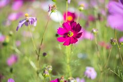 Süßer rosa Kosmos blüht mit Biene im Feldhintergrund Lizenzfreie Stockfotografie