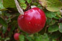 Süßer roter Apfel Stockfotos