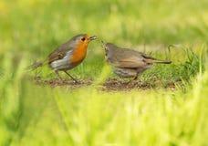 Süßer und sehr populärer kleiner Vogel Robins, A Stockfotografie