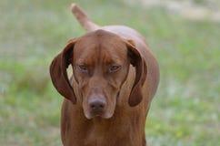 Süßer Vizsla-Hund lizenzfreie stockbilder
