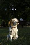 Süßer weiblicher Spürhund, der in einem Stadtpark sitzt Lizenzfreie Stockfotos