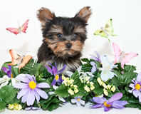 Yorkie Welpe mit Schmetterlingen Stockfotografie