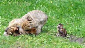 Süßes Baby albert Macaca sylvanus herum stock video