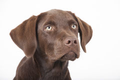Süßes braunes Labrador-Hundesitzen Lizenzfreie Stockfotos
