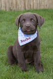 Süßes braunes Labrador-Welpenspielen Lizenzfreie Stockfotografie