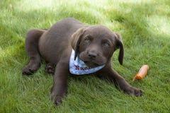 Süßes braunes Labrador-Welpenspielen Stockfotos