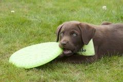 Süßes braunes Labrador-Welpenspielen Stockbilder