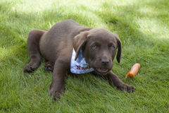 Süßes braunes Labrador-Welpenspielen Lizenzfreies Stockbild