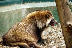 Süßes flaumiges Tier neigt, unter den Strahlen der heißen Sonne in der Einschließung des Zoos zu schlafen Lizenzfreies Stockfoto