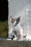 Süßes graues und weißes Kätzchen Stockbild