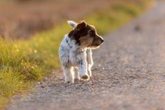 Süßes Jack Russell Terrier-Hündchen schaut seitlich und Betrieb auf einer Straße in der Hintergrundbeleuchtung lizenzfreie stockfotografie