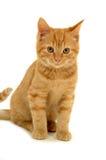 Süßes Kätzchen Lizenzfreie Stockbilder