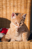 Süßes Kätzchen säubert seine Tatze Lizenzfreie Stockbilder