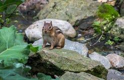 Süßes Streifenhörnchen auf einem Stapel von Felsen lizenzfreie stockfotos