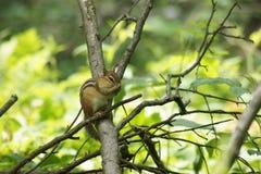 Süßes Streifenhörnchen-Pflegen Lizenzfreie Stockfotos