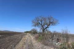 Süßhülsenbaum allein in der Wüste Stockbilder