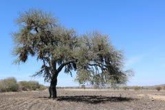 Süßhülsenbaum allein in der Wüste Stockbild