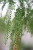 Süßhülsenbaum-Baumblätter Stockbild