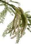 Süßhülsenbaum-Hülsen Stockfotos