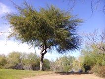 Süßhülsenbaumbaum stockfotos