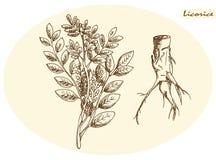 Süßholzwurzel und Süßholz Lizenzfreies Stockbild