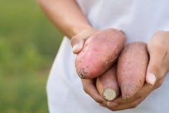 Süßkartoffel in der Hand des Landwirts stockbild