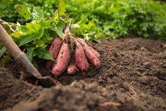 Süßkartoffel-Ernte stockbild