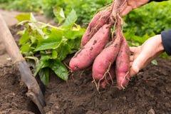 Süßkartoffelernten lizenzfreies stockfoto