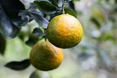 Süßorangen im Naturgarten lizenzfreie stockfotografie