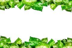 Süßwasser-Tropfen auf Grünpflanze-Blatt Lizenzfreie Stockbilder