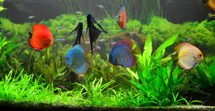 Süßwasserausgangsaquarium mit Discusfischen lizenzfreies stockbild